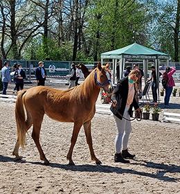 VII Ogólnopolski Czempionat Hodowlany Kuców wraz z I Ogólnopolskim Przeglądem Kuców 'Felin Pony Stars'
